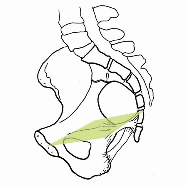 The Pelvis Soft And Bony